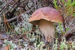 Champignon de boletus de roi dans la fin de forêt  Sepe d'automne dans les bois Cuisson du champignon organique délicieux Nourrit photographie stock libre de droits