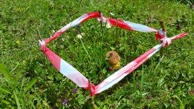 Champignon de boletus se cachant dans l'herbe verte, ruban rayé clôturé Images libres de droits