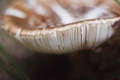 Champignon de Brown dans le plan rapproché de forêt en automne photos libres de droits
