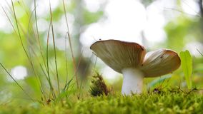 Champignon de brunneoviolacea de Russula Photo stock