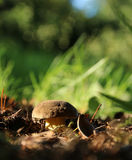 Champignon de cèpe s'élevant dans la forêt d'automne Photo libre de droits