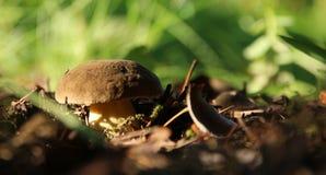 Champignon de cèpe s'élevant dans la forêt d'automne Photo stock