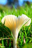 'Champignon de champ du Miller' Photo stock