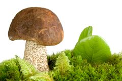 Champignon de chapeau de Brown photographie stock libre de droits