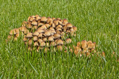 Champignon de couche Photos stock