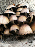 Champignon de couche Photo libre de droits