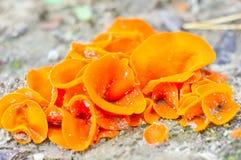 Champignon de couche comestible Image libre de droits