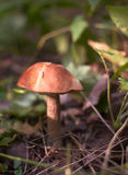 Champignon de couche comestible (boletus de brun-capuchon) Images libres de droits