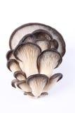 Champignon de couche comestible de mycètes images stock