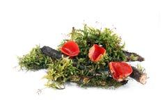 Champignon de couche - cuvette d'écarlate photos libres de droits