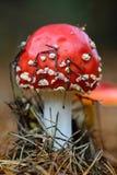 Champignon de couche d'agaric de mouche Photographie stock libre de droits