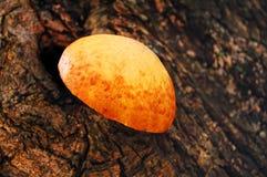 Champignon de couche d'arbre Photos libres de droits