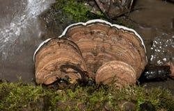 Champignon de couche d'arbre de bride d'artiste Photographie stock