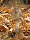 Champignon de couche d'automne photos stock