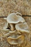Champignon de couche d'huître Image stock