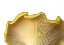 Champignon de couche d'huître Images libres de droits