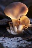Champignon de couche d'huître au coucher du soleil Image stock