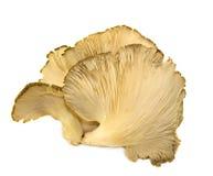 Champignon de couche d'Ostyer Image libre de droits