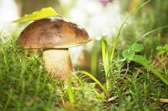 Champignon de couche dans l'herbe Photographie stock libre de droits