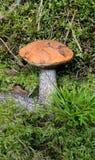 Champignon de couche dans la fin de mousse vers le haut Photo stock