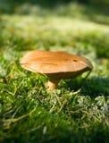 Champignon de couche dans la forêt Photographie stock