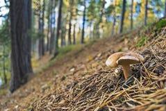 Champignon de couche dans la forêt Images stock