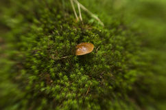Champignon de couche dans la mousse Images stock
