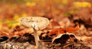 Champignon de couche dans les bois Photo libre de droits