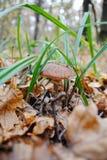 Champignon de couche dans les bois photo stock