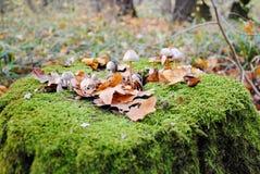 Champignon de couche dans les bois Images stock