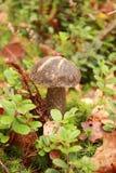 Champignon de couche dans les bois Usines de forêt Photographie stock