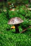 Champignon de couche dans les bois Usines de forêt Images libres de droits
