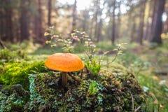 Champignon de couche dans les bois photographie stock libre de droits
