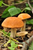 Champignon de couche dans une forêt Image stock