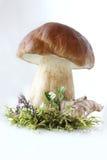Champignon de couche de Bolete. Photo stock