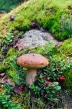 Champignon de couche de bolete de suède photo libre de droits