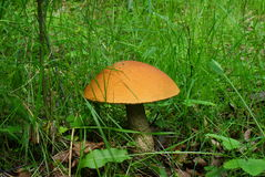 champignon de couche de boletus d'Orange-capuchon. Photos libres de droits