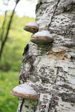 Champignon de couche de bouleau Photo libre de droits