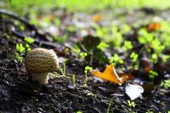Champignon de couche de forêt Image stock