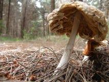 Champignon de couche de forêt images stock