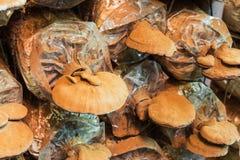 Champignon de couche de Lingzhi Images stock