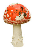 champignon de couche de mouche d'agaric images stock