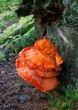 Champignon de couche de poulet sur un arbre mort Photos libres de droits