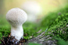 Champignon de couche de Puffball sur la mousse verte photo libre de droits