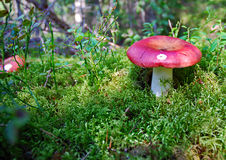 Champignon de couche de Russula dans la forêt Images stock