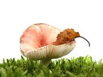 Champignon de couche de Russula dans la mousse d'isolement sur W Images stock