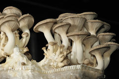 Champignon de couche de trompette de roi Photo stock