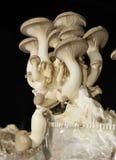 Champignon de couche de trompette de roi Photos stock