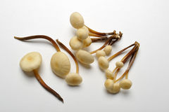 Champignon de couche de trompette de roi, champignon de couche de klaxon français Photos libres de droits