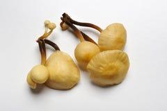 Champignon de couche de trompette de roi, champignon de couche de klaxon français Photo stock